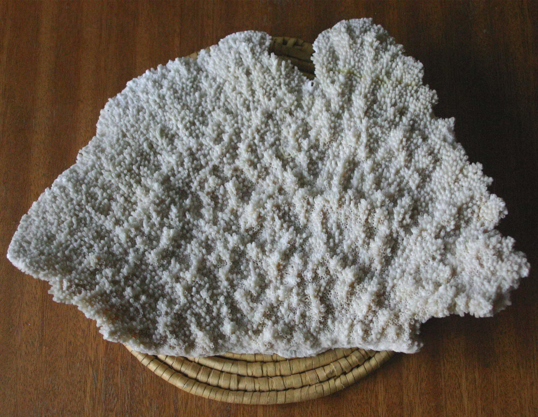 074. Коралл 4, тип Acropora palmata, фото 3