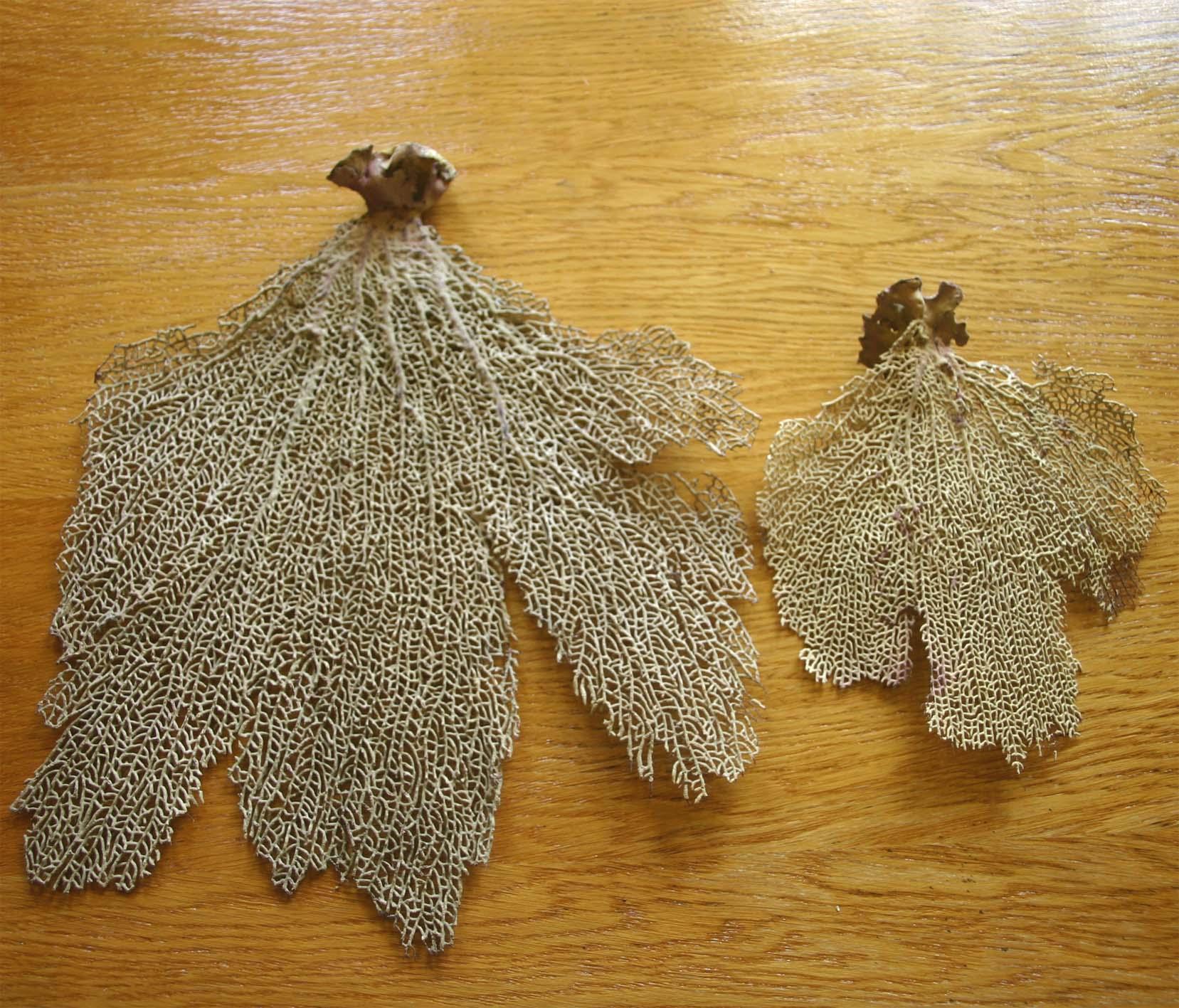 Коралл 10, тип Gorgonia flabellum