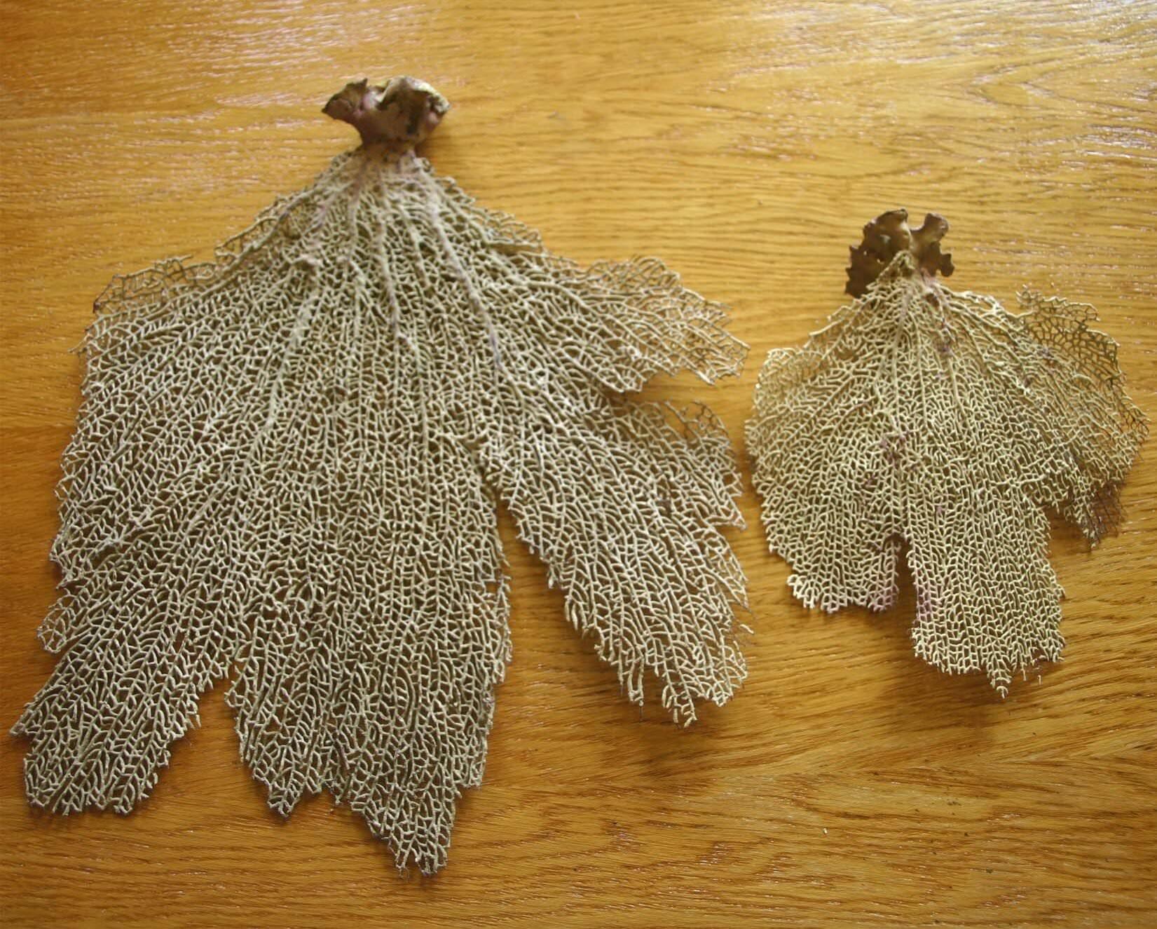 116. Коралл 12, тип Gorgonia flabellum, фото 1