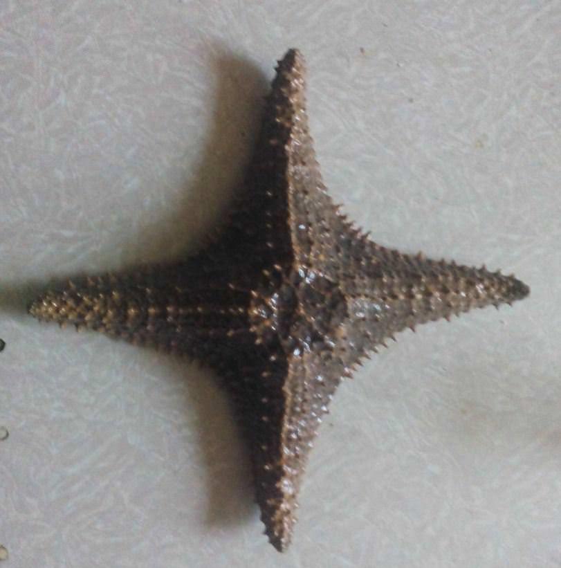Морская звезда редкой четырехугольной формы
