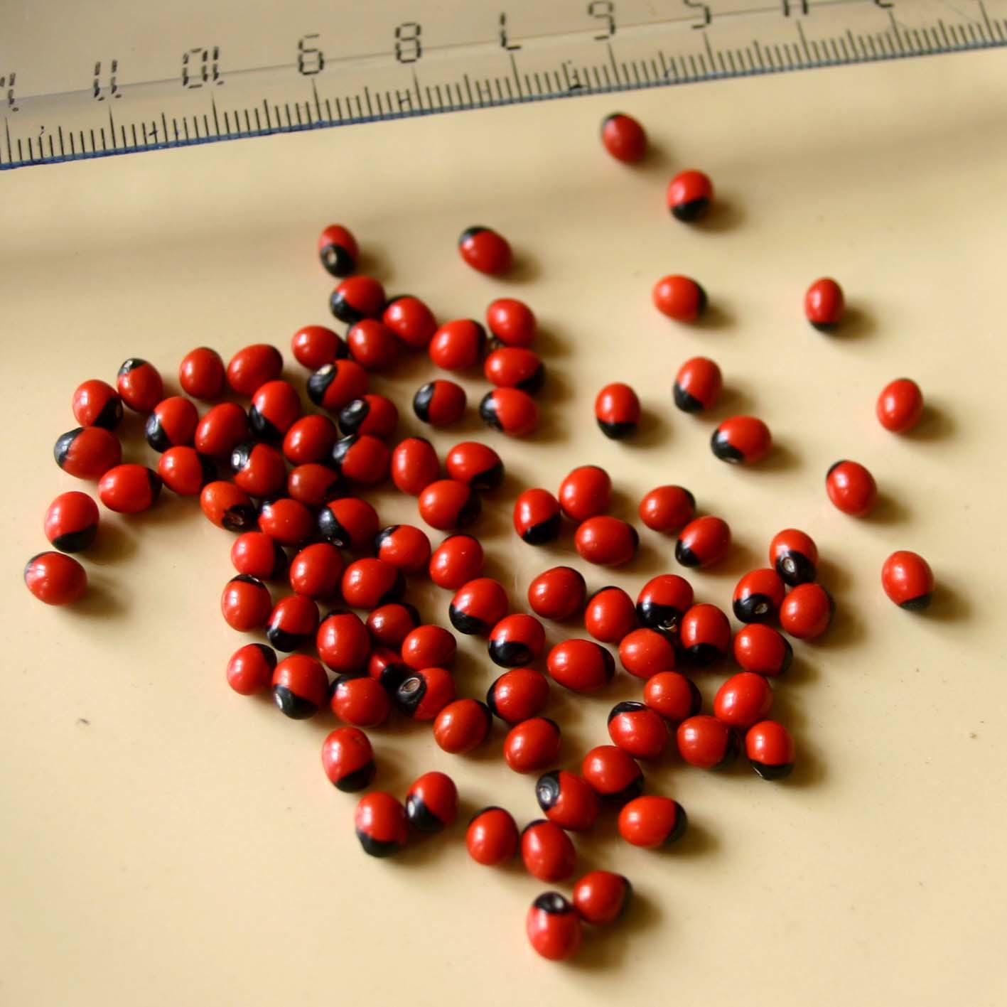 Семена Abrus precatorius («глаза краба»), фото 2