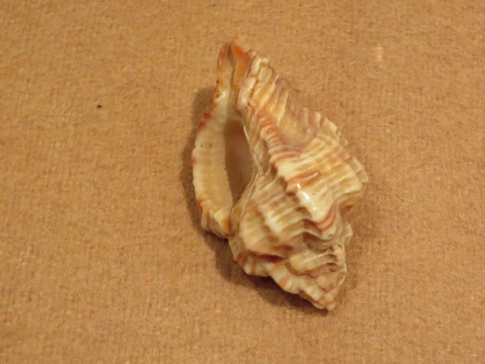 Морская раковина №2