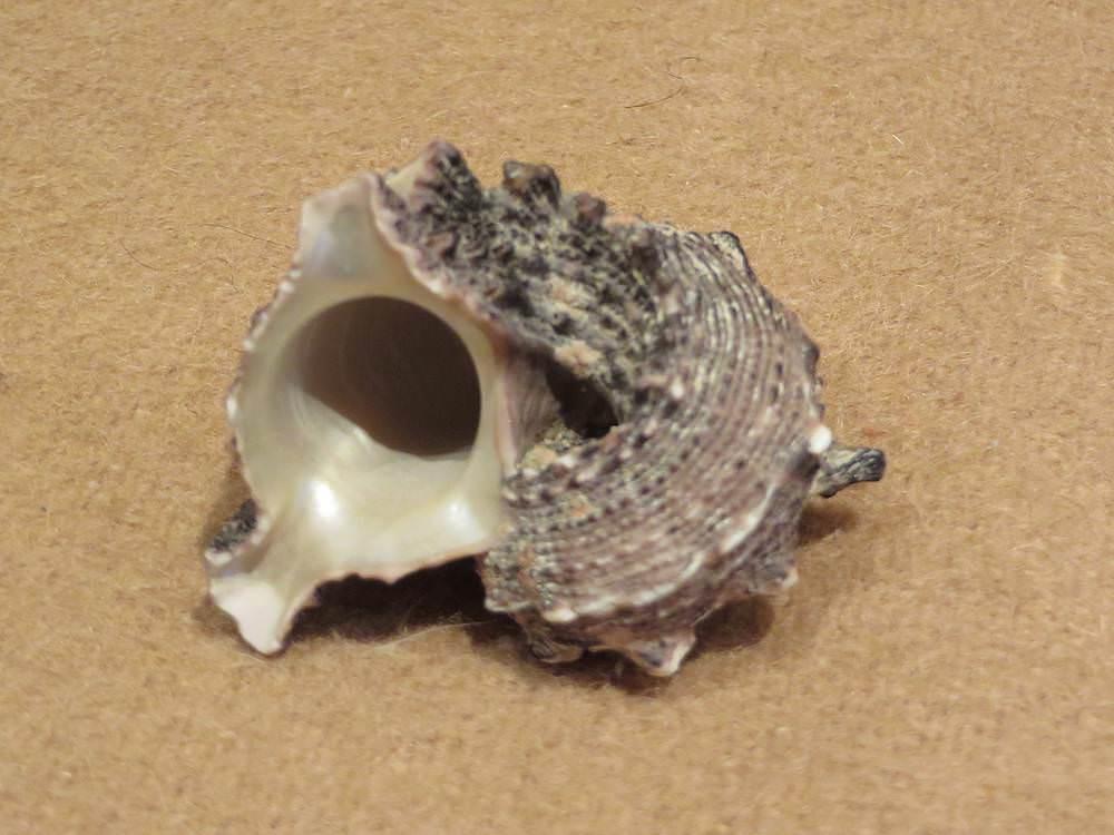 Морская раковина №6