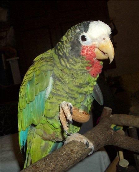 449. Попугай Петрушка. Его вывезли из Моа и привезли в Союз родители Софьи в июне 1980 года. Сейчас ему идет 37-й год.