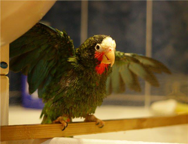 450. Петрушка принимает ванну. Обычно он сидит на жердочке, а не на руках. Он любитель покусаться.