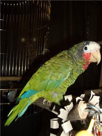455. Попугай Петрушка