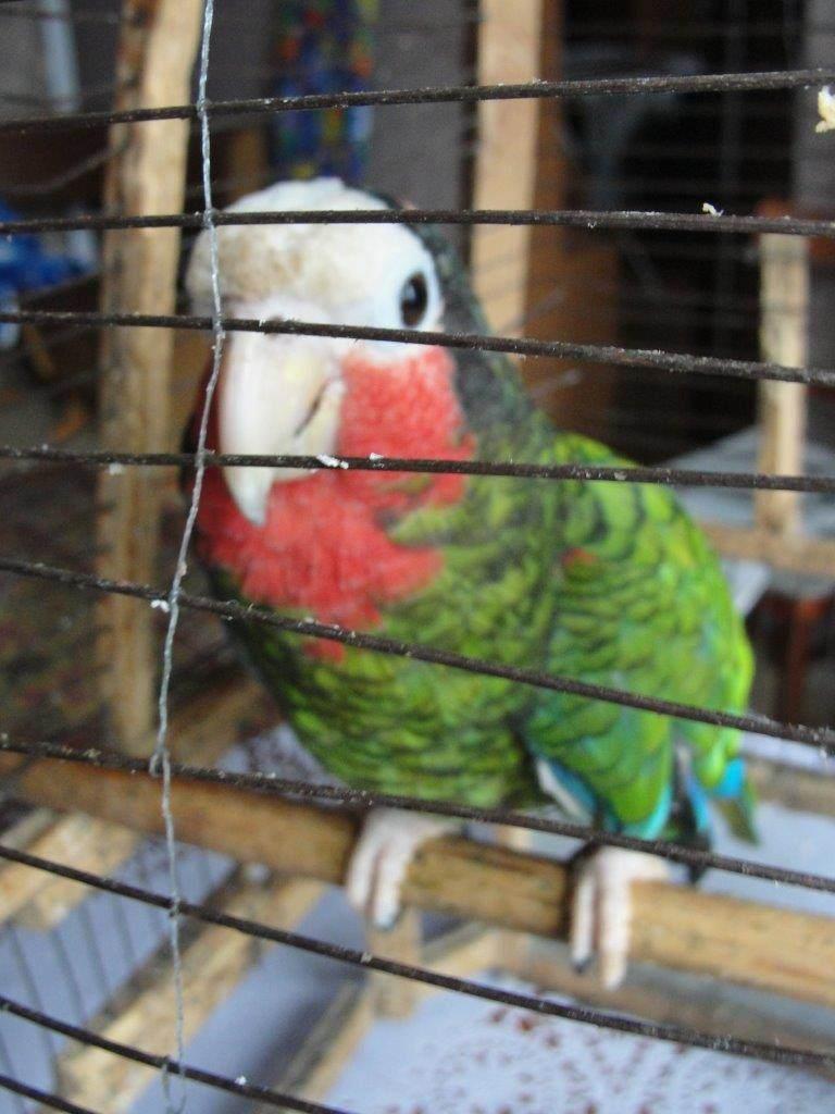 458. Попугай, которого вывезли с Кубы. Ракурс 2.