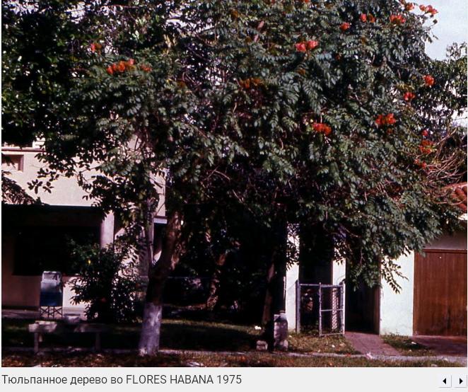 004. Тюльпанное дерево во Флоресе, 1975