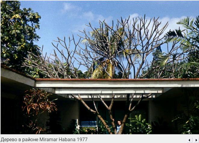 070. Дерево в районе Мирамар, 1977