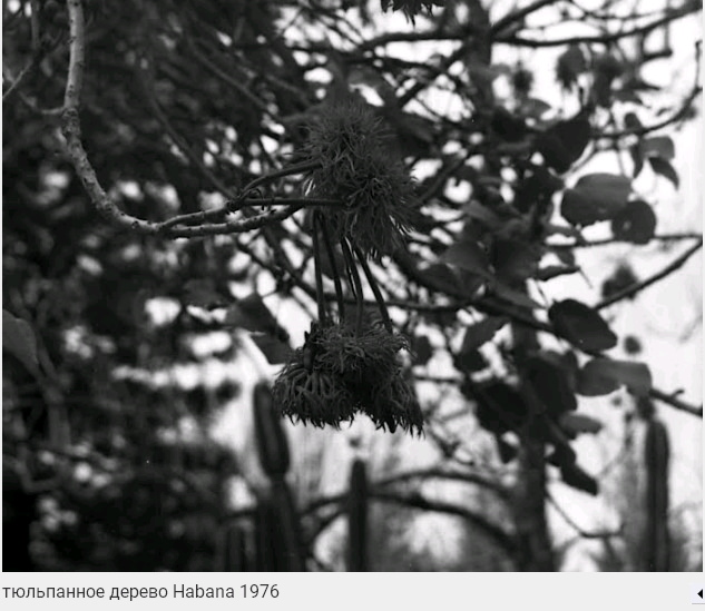071. Тюльпанное дерево, Гавана, 1976