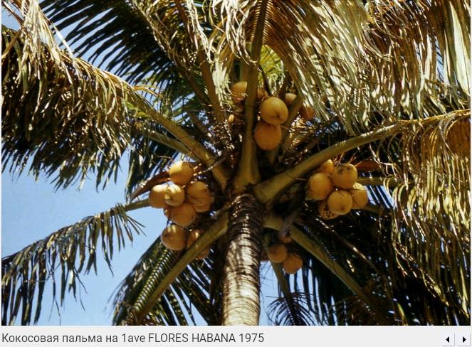 073. Кокосовая пальма на Первой авениде, Флорес, 1975