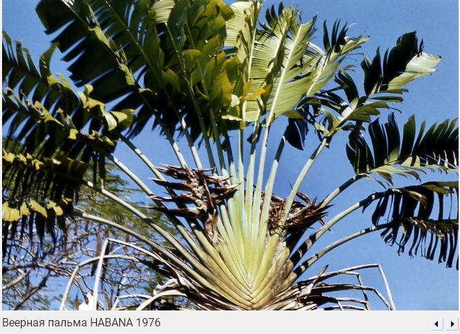 075. Веерная пальма, 1976
