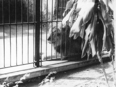 063. Гаванский зоопарк. Лев.