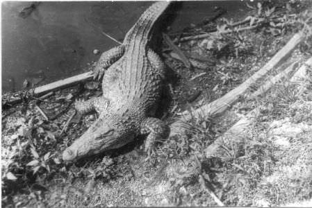 071. Крокодилий питомник