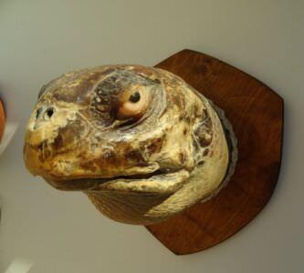 Голова морской черепахи. Полупрофиль.