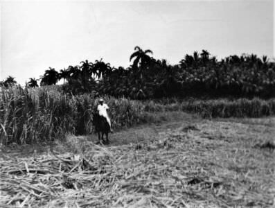 054. Советские специалисты помогают кубинцам: уборка сахарного тростника, фото 1