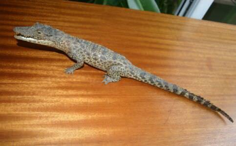 001. Крокодильчик, набивной, фото 1