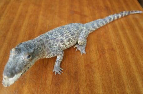 004. Крокодильчик, набивной, фото 4