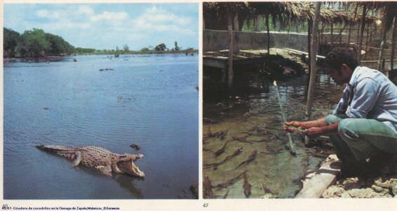 046, 047. Criadero de cocodrilos en la Cienaga de Zapata, Matansas