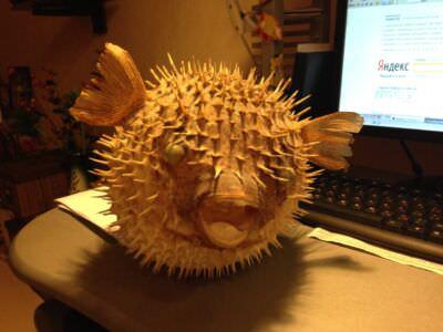 247. Рыба-шар. Вид спереди.