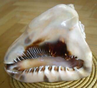 041. Ракушка Cassis cornuta, фото 6