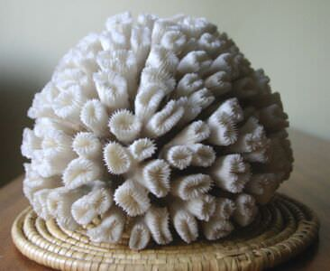 065. Коралл 2, тип Eusmilia fastigiata, фото 6