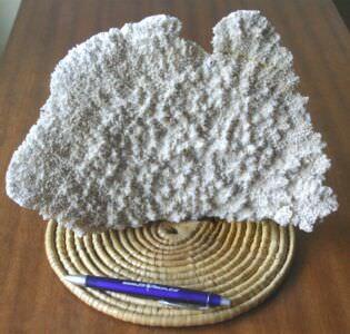 073. Коралл 4, тип Acropora palmata, фото 2