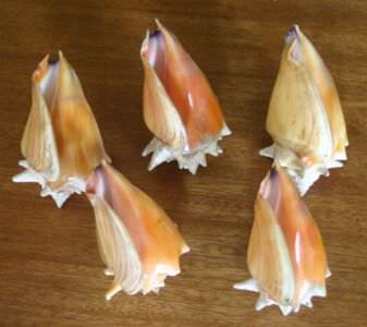 147. Ракушка Strombus pugilis (Стромбус боец), фото 8