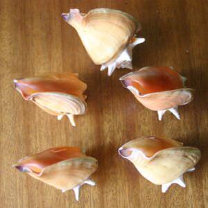 149. Ракушка Strombus pugilis (Стромбус боец), фото 10