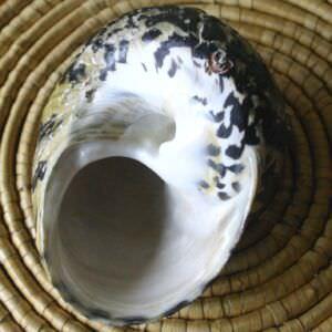 165. Ракушка Cittarium pica, фото 6