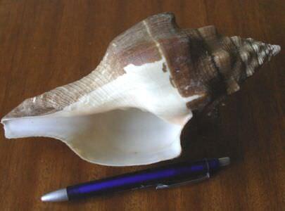 181. Ракушка Turbinella angulata, фото 7