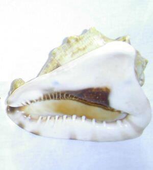 340. Ракушка-зубатка