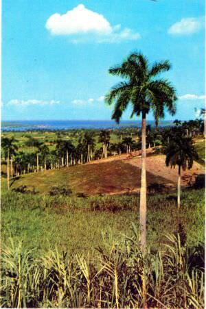 186. Королевские пальмы