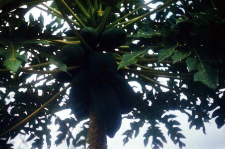 1983, сорт пальмы с несьедобными кокосами
