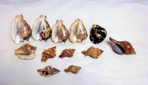 Набор морских ракушек 1