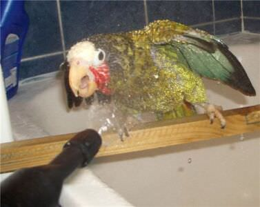 452. Петрушка принимает ванну. Обычно он сидит на жердочке, а не на руках. Он любитель покусаться.