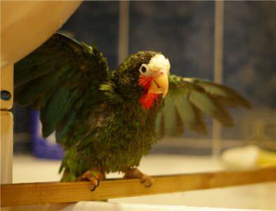 453. Петрушка принимает ванну. Обычно он сидит на жердочке, а не на руках. Он любитель покусаться.