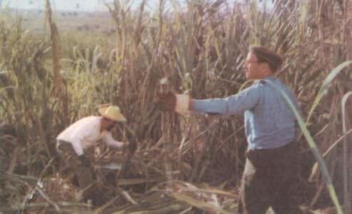 150. 1962. Рубка сахарного тростника