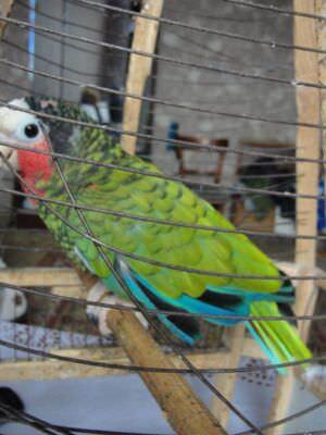 457. Попугай, которого вывезли с Кубы. Ракурс 1.
