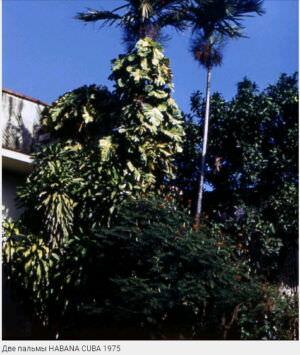 076. Две пальмы, 1975