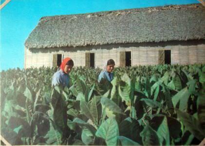 226. Табачные плантации