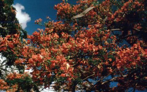 1990-05-ХХ. Цветущие фрамбояны на спуске к Санта-Марии. Ветви цветущей рамбойяны крупно.