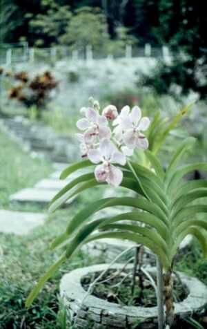 1989-04-16. Сороа. Питомник орхидей, фото 6