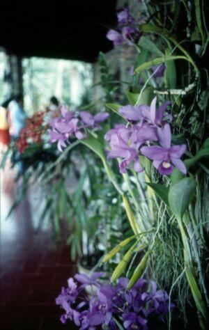 1989-04-16. Сороа. Питомник орхидей, фото 13