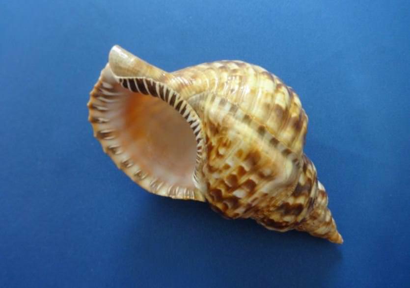 Морская раковина, фото 1