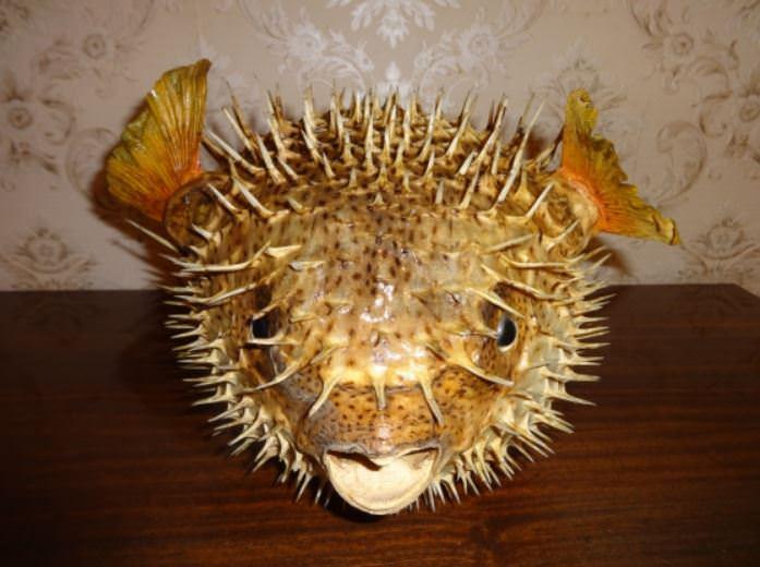 Рыба-шар. Ракурс 2